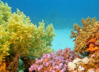 Types-Of-Soft-Coral