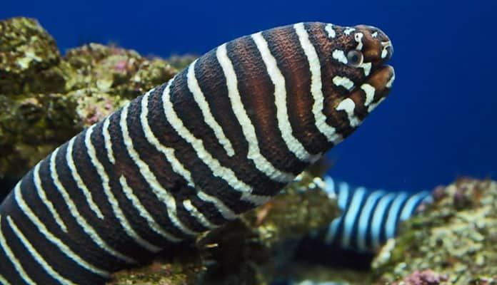 Zebra-Moray