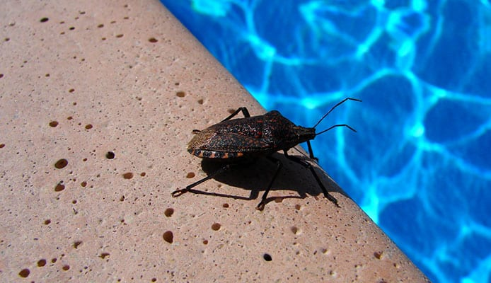 How_To_Get_Rid_Of_Water_Bugs_In_Your_Swimming_Pool
