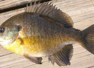 10_Bluegill_Fishing_Tips