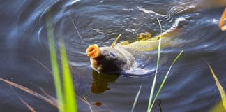 Carp_Fishing_Tips_How_to_Catch_Carp_Fish