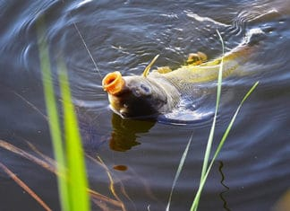 Carp_Fishing_Tips_How_to_Catch_Carp_Fish