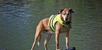 Do_Dogs_Need_Life_Jacket_Find_The_Answer_Here