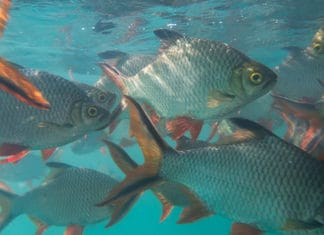 10_Tips_On_How_To_Catch_Tilapia