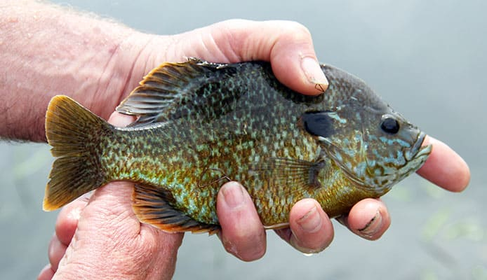 Detailed_Guide_On_How_To_Catch_Bluegill