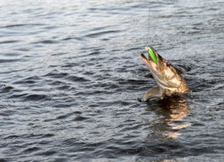 Spring_Is_Prime_Time_for_Big_Northern_Pike