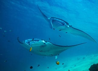 10_Best_Sites_For_Diving_With_Manta_Rays