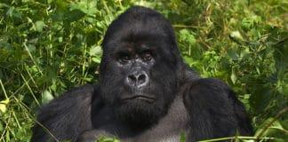 Gorilla_Trekking_in_Uganda_•_All_You_Need_to_Know