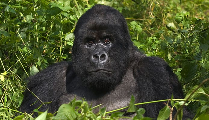 Gorilla_Trekking_in_Uganda_•_All_You_Need_to_Know